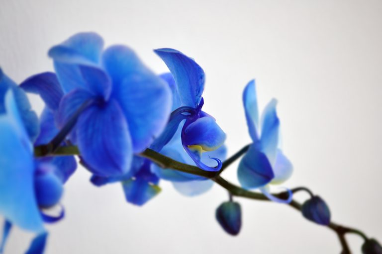 Afbeelding Royal Blue Orchidee
