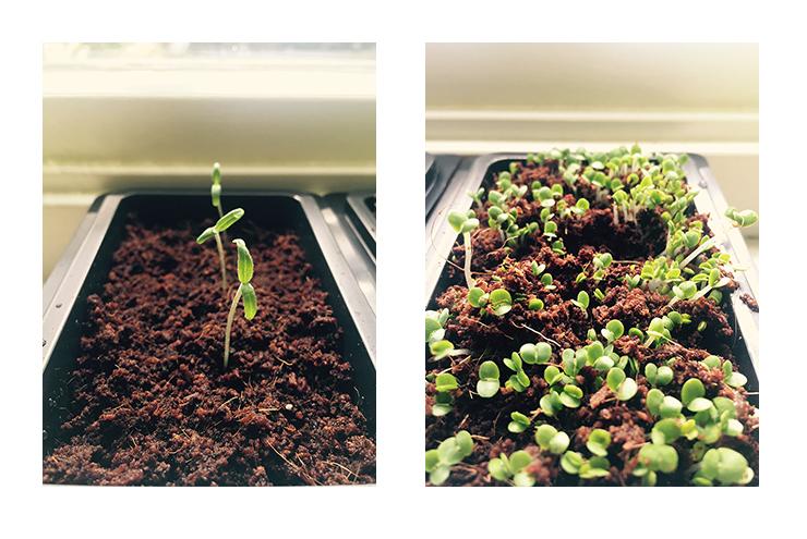 Afbeelding voorgezaaide tomaat en basilicumplantjes