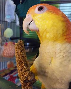 Afbeelding Mango eet trosgierst