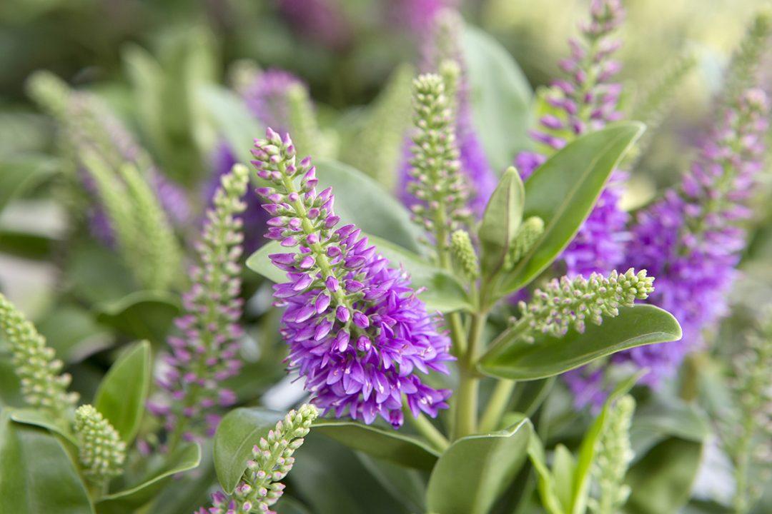 Afbeelding Hebe Addenda plant lila