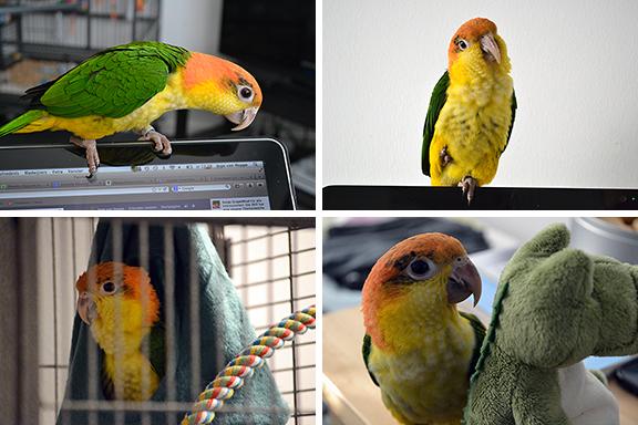 Afbeelding collage van Mango de papegaai