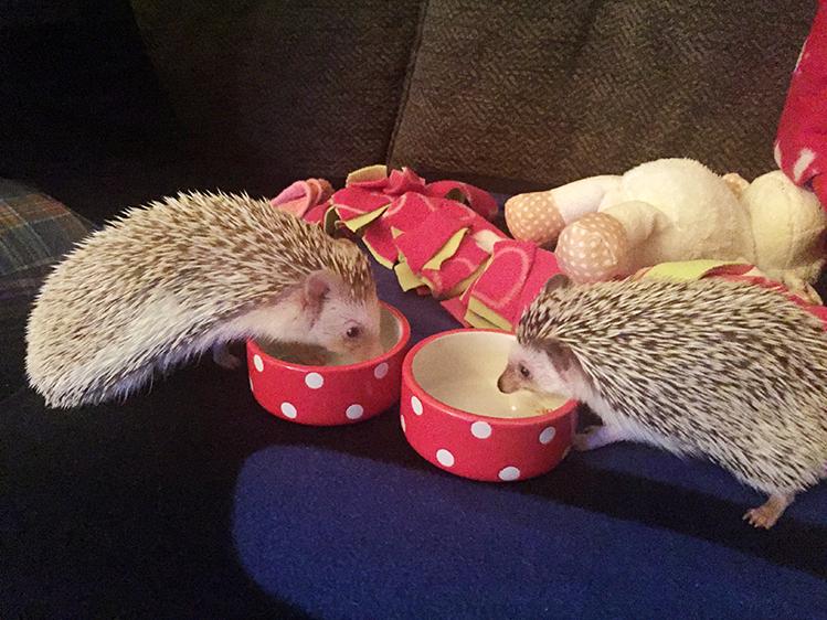 Afbeelding een egel als huisdier #2: Hazel en Daisy eten samen
