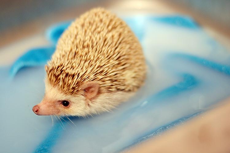 Afbeelding een egel als huisdier #2: Hazel krijgt een voetenbadje