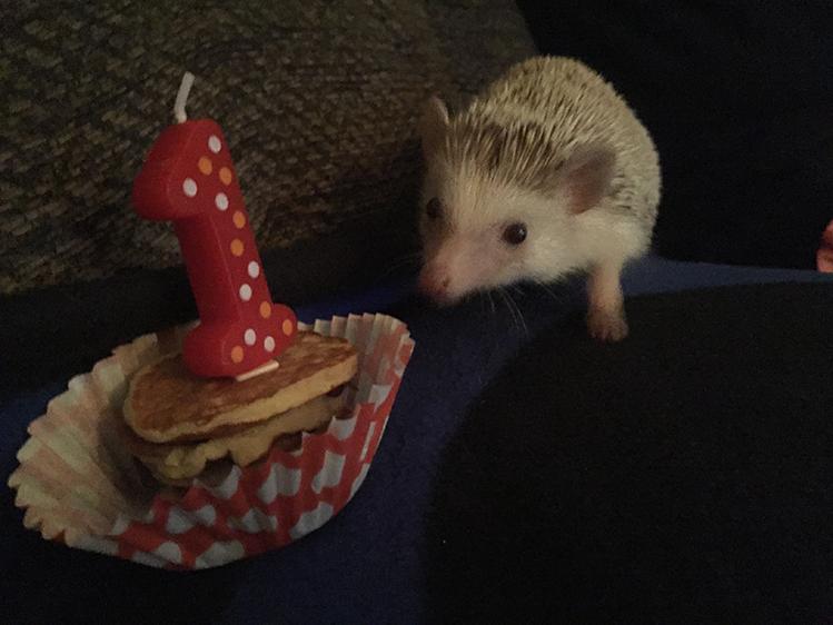 Afbeelding een egel als huisdier #2: Hazel krijgt een verjaardagspannekoek