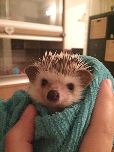 Afbeelding een egel als huisdier #2: Daisy in de handdoek