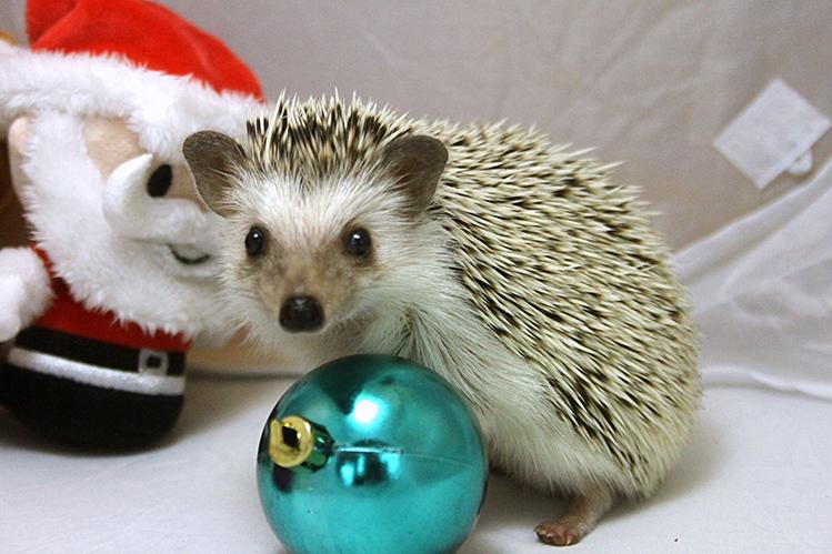 Afbeelding een egel als huisdier #2: Daisy tijdens kerstfotoshoot