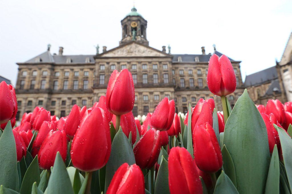 Afbeelding tulpen plukken tijdens tulpenseizoen