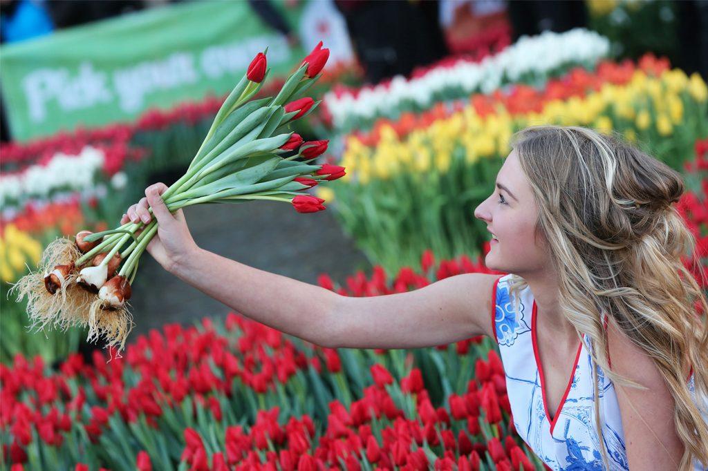 Afbeelding tulpenseizoen tulpen plukken op de Dam