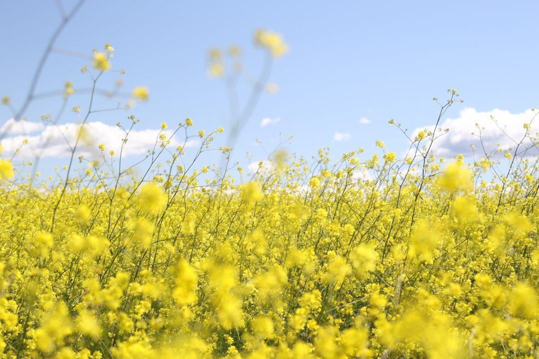 Afbeelding veld met wilde gele bloemen
