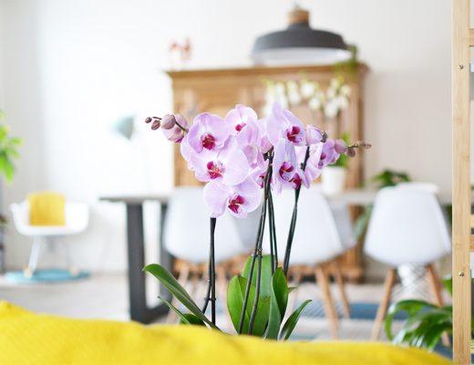 Phalaenopsis Sacramento van Het Beste van de Kweker