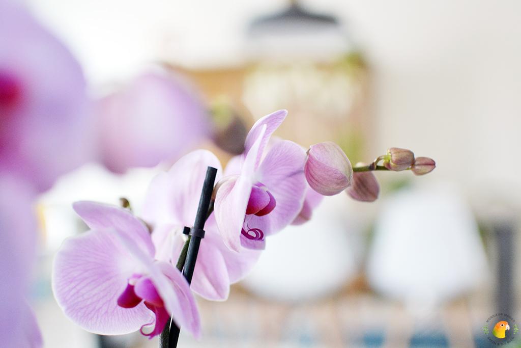 Phalaenopsis Sacramento close-up