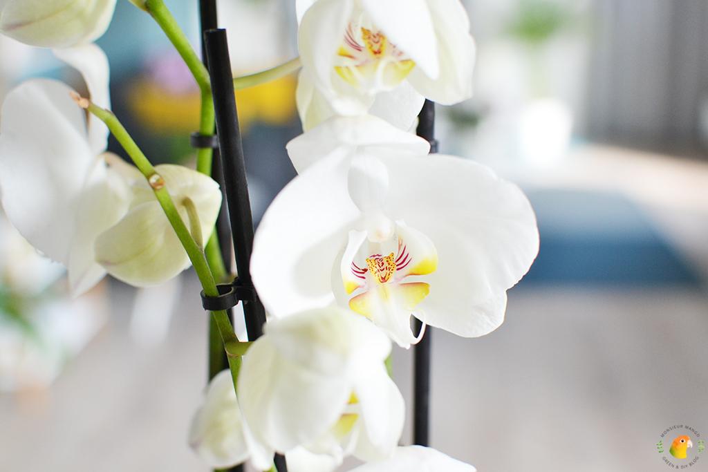 Witte orchidee Phalaenopsis White World